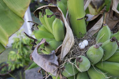 Banana bird nest tree raw ripe plant leaf fruit Stock Photo