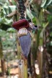 Banana Bloom Stock Photo