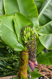 Banana bloom and fruits Royalty Free Stock Photo