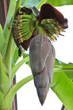Banana blossom Royalty Free Stock Photography