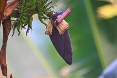 Free Banana Blossom Stock Photos - 36840973