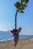 Banana blossom and bananas bunch on the tree against a sea background. Banana blossom and bananas bunch on the tree against a sea and mountain background Stock Image
