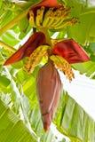 Banana blossom and bunch Royalty Free Stock Image