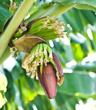 Banana blossom and bunch on tree Stock Images