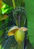 Banana blossom and bunch on tree Royalty Free Stock Photo