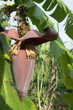 Banana blossom and bunch on tree in the garden at Thailand Stock Photography
