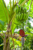 BANANA BLOSSOM. And bunch on tree in Thailand Stock Images