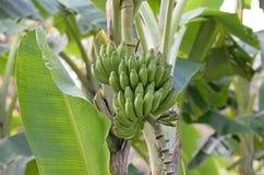 Banana blossom Stock Image