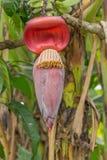 Banana blossom Royalty Free Stock Images