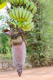 Banana blossom Royalty Free Stock Photos