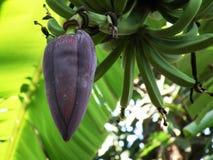 Banana blossom fruit stalk royalty free stock image