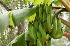 Banana blossom and fruits on a banana tree. A Banana blossom and fruits on a banana tree Stock Photography