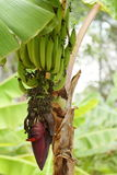 Banana blossom and fruits on a banana tree. A Banana blossom and fruits on a banana tree Royalty Free Stock Image