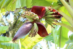 Banana blossom. The blossom banana and fruits on banana tree Royalty Free Stock Photography