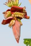 Banana blossom Stock Photos