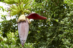 Banana blossom Stock Photography