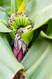 Banana blossom in the garden Royalty Free Stock Photography