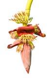 Banana blossom in the garden Royalty Free Stock Photos