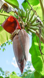 The banana blossom. With green banana Stock Images