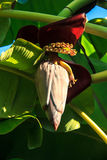 Banana blossom Royalty Free Stock Image