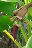 Banana blossom Stock Images