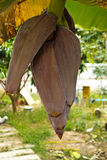 Banana blossom of Thailand Stock Image