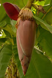 Banana blossom on the tree. Banana blossom and bananas flower on the tree Stock Image