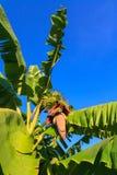 Banana blossom Stock Photography