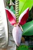 Banana blossom on the tree Stock Photo