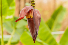 Banana blossom on the tree Stock Photos