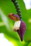 Banana blossom on the tree Stock Photos