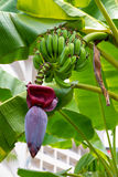 Banana blossom Royalty Free Stock Images