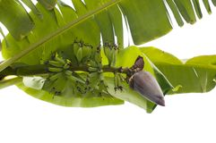 Banana bud and bunch Stock Images