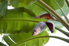 Banana bud and bunch Stock Image