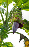 Banana bud and bunch Royalty Free Stock Images
