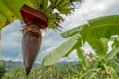 Banana Bud grow up on the tree in forest mountain. Thailand fruit Stock Image