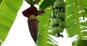 Banana bud on tree. Of plantation agriculture, rainy day scene stock video