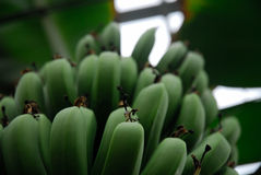 Banana bunch. A bunch of green bananas in a greenhouse Royalty Free Stock Photo