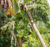 Banana bunch Royalty Free Stock Photos