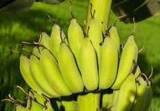 Banana bunch. On tree in the garden,Thailand Royalty Free Stock Image