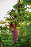 Banana bunch and banana flower Royalty Free Stock Photos