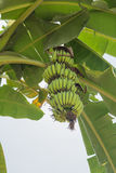 Banana. Bunch of bananas on tree. Unripe bananas in the jungle. banana leaf Royalty Free Stock Photos