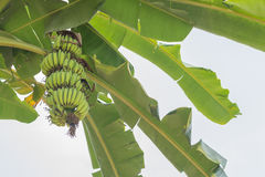 Banana. Bunch of bananas on tree. Unripe bananas in the jungle. banana leaf Royalty Free Stock Images