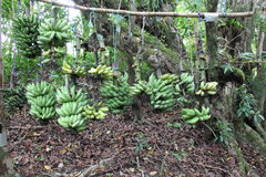Banana bunch Stock Image