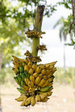 Banana bunch Royalty Free Stock Photography