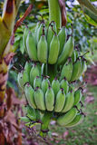 Banana bunch hanging from the tree Royalty Free Stock Image