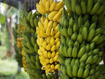 Banana. In the bunch liliopsida mature plantae Royalty Free Stock Photography