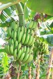 Banana bunch of raw on banana tree in banana plantations Royalty Free Stock Images