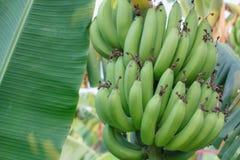 Banana bunch of raw on banana tree in banana plantations Royalty Free Stock Photography