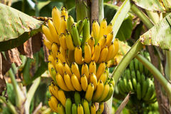 Banana Bunch On Tree. Close up of tropical fruit stock images
